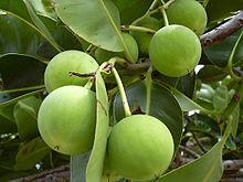 Tamanu fruits