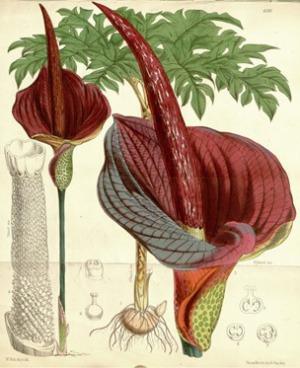 図1 W. Fitch(1817-1892:英国の植物画家)によるコンニャクの細密画