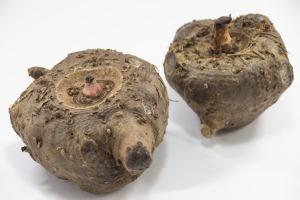 図2 コンニャク芋