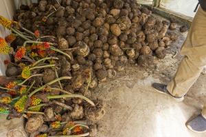 図4 ミャンマー、チン州の山岳民族が栽培し、収穫されたコンニャク芋の様子