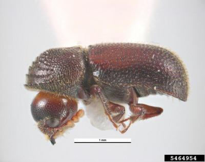 図2 チビタケナガシンクイ(Dinoderus minutus) (M. O'Donnell and A. Cline, Wood Boring Beetle Families, USDA APHIS PPQ, Bugwood.org撮影)